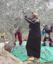 Découvrir la Palestine par la récolte des olives