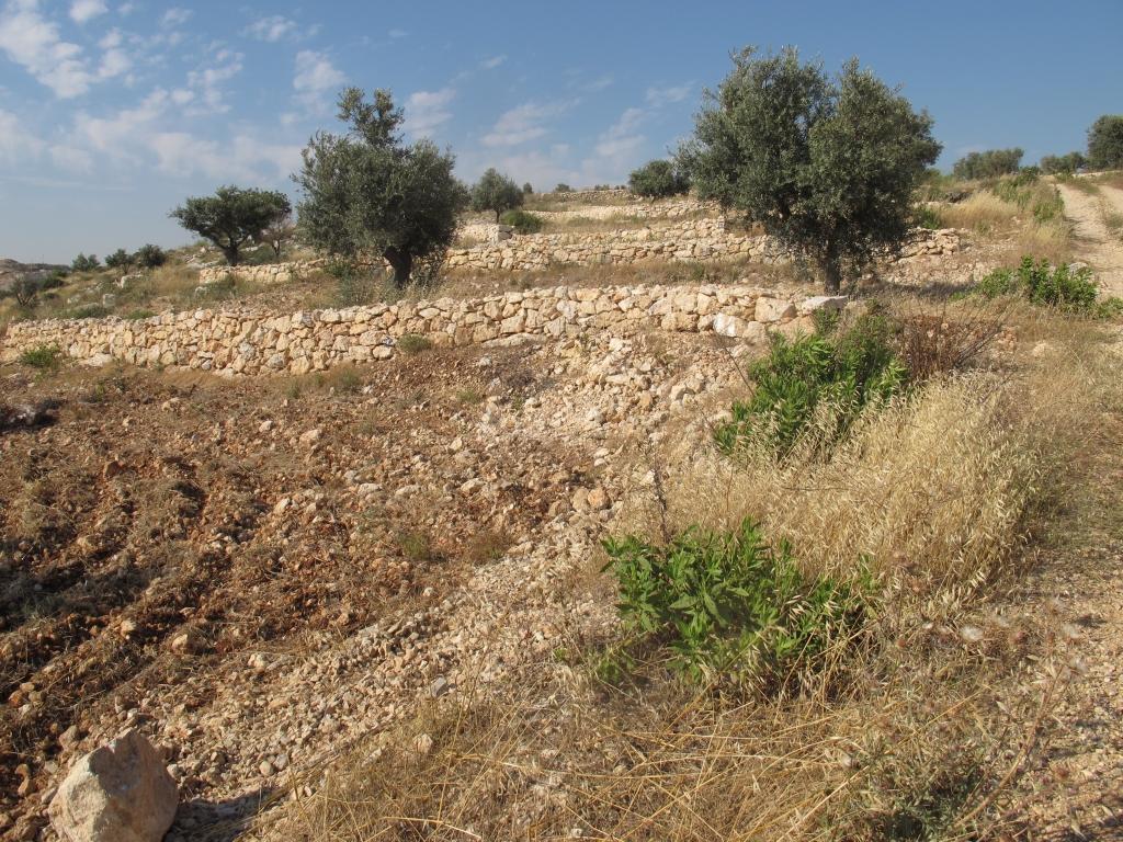 Terrasses centenaires des oliveraies au coeur de la culture pal.